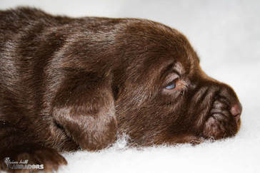 Chocolate English Lab - Briar Hill Labs - Roaring Spring PA
